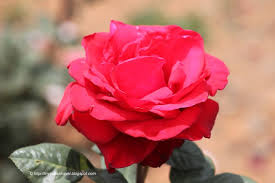 Image result for images of roses at ooty