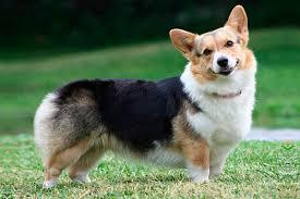 Вельш-<b>корги</b> описание <b>породы</b> собак, характеристики, внешний ...