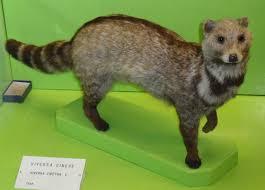 Image result for civet cat