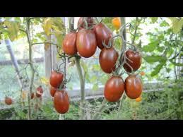 Сорт <b>томата</b> «<b>Черный мавр</b>» - описание, фото, отзывы