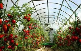 Подкормка томатов в <b>теплице</b>: когда и какие <b>удобрения</b> ...