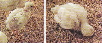 Resultado de imagen para Enteritis necrótica en pavos y pollos
