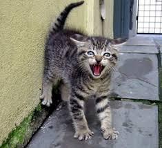 Afbeeldingsresultaat voor kat in het nauw