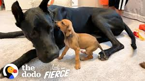 Tiny, Scared <b>Puppy</b> Falls In Love With A 120-Pound Great Dane ...