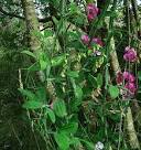 Images & Illustrations of broad-leaved everlasting pea