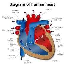 what you need to know about coronary heart disease   medical news    about the heart