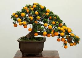 a bonsai tree can grow small or full sized citrus fruit meyer lemon trees citrus meyeri and calamondin orange trees c mitis are good citrus trees for bonsai tree