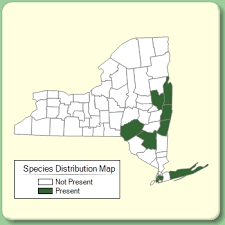 Nymphoides peltata - Species Page - NYFA: New York Flora Atlas