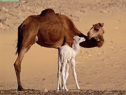 las cabras de Sahara bilaketarekin bat datozen irudiak