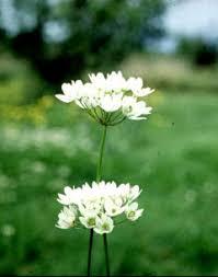 Allium subhirsutum PFAF Plant Database