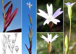 Eudianthe laeta Rchb. ex Willk. - Portale della Flora di Roma