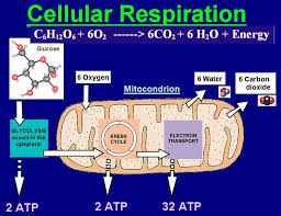 Image result for cellular respiration