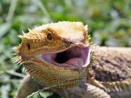 Image result for Australian bearded dragon lizards picture
