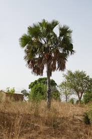 Borassus sambiranensis