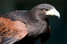 「鷹 フリー素材」の画像検索結果