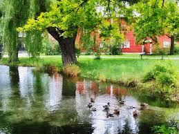 Image result for pond with ducks
