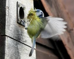 Image result for blue tit nest box
