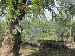 Image result for eucalyptus medicine