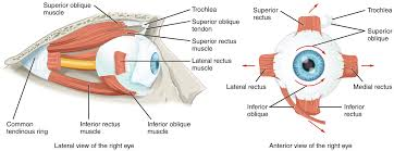 sensory perception middot anatomy and physiology the extraocular muscles move the eye in the orbit