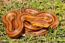 Florida Snake ID Guide – Florida Museum of Natural History