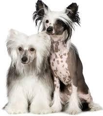 Ποια είναι τα χαρακτηριστικά του Chinese Crested  σκύλου;