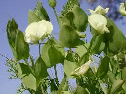 Lathyrus aphaca - Wikipedia