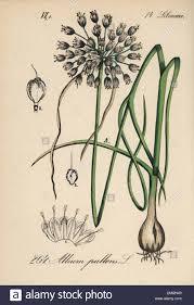 Naples garlic, Allium pallens. Handcoloured lithograph from ...