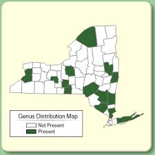 Cymbalaria - Genus Page - NYFA: New York Flora Atlas - NYFA ...
