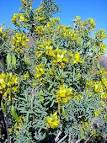 Images & Illustrations of bladderpod