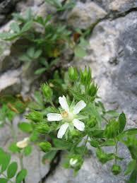 Potentilla caulescens - Wikipedia, la enciclopedia libre