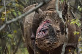 Resultado de imagem para cornos rinoceronte