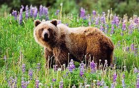 Image result for canadian grizzly bear