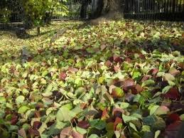「ナンキンハゼの葉」の画像検索結果