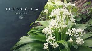 Allium ursinum - (Wild garlic) - YouTube