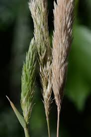 Triplachne nitens (Guss.) Link | Flora of Israel Online