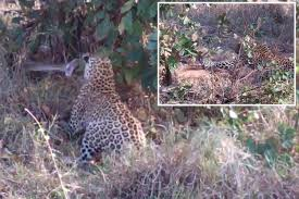 Terrifying footage shows giant python darting at two leopards in ...