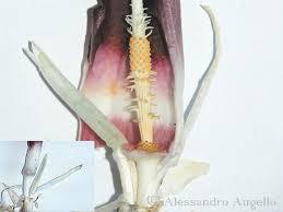 Biarum tenuifolium - Il Gargano è Storia, Natura, Civiltà
