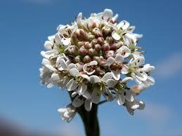 Arabis brassica (Leers) Rauschert - Un Fiore alla volta di Giorgio ...