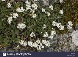 Lepidium hirtum ssp oxyotum in the mountains of Corsica. Endemic ...