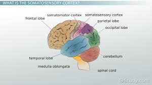 prefrontal cortex definition function development video somatosensory cortex definition location function