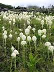 Images & Illustrations of bear grass