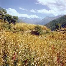 Photograph A field of corn  maize  is cultivated in the mountainous Chamba region