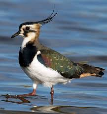 Image result for lapwing