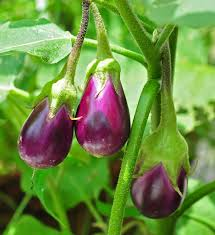 Image result for eggplants