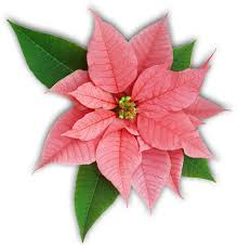 Poinsettia Facts - The Poinsettia Pages - University of Illinois ...