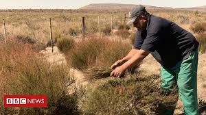 <b>South Africa's rooibos</b> tea industry to pay KhoiSan people - BBC News