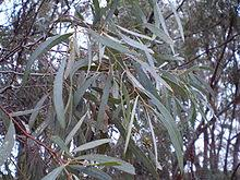 <b>Eucalyptus oil</b> - Wikipedia