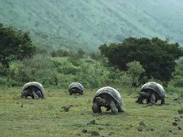 Giant Tortoise from the Galapagos Islands