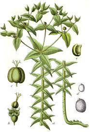 Euphorbia lathyris - Wikipedia