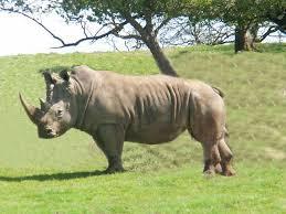 Image result for وحيد القرن